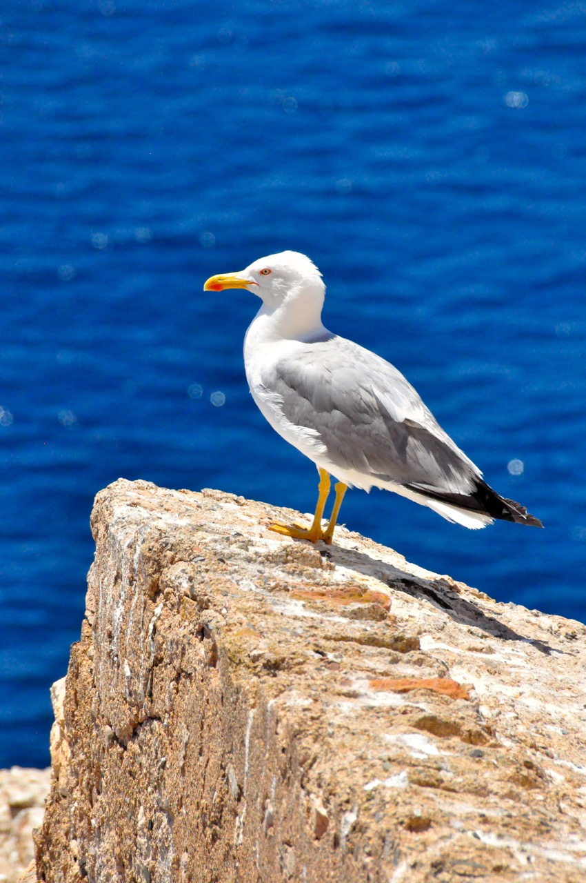 Seagull of Aguilas