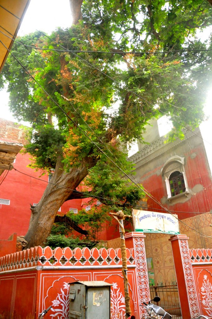 300 year old Tamarind Tree in Jaipur
