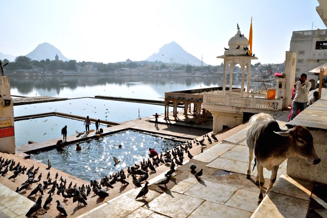 Pushkar Lake with Holy Cow