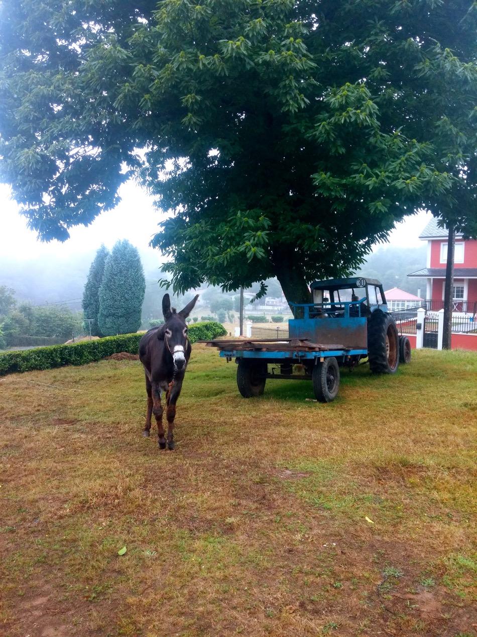 donkey on day 36 to arzua