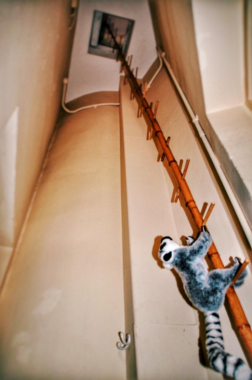elthams-lemur-jonggie