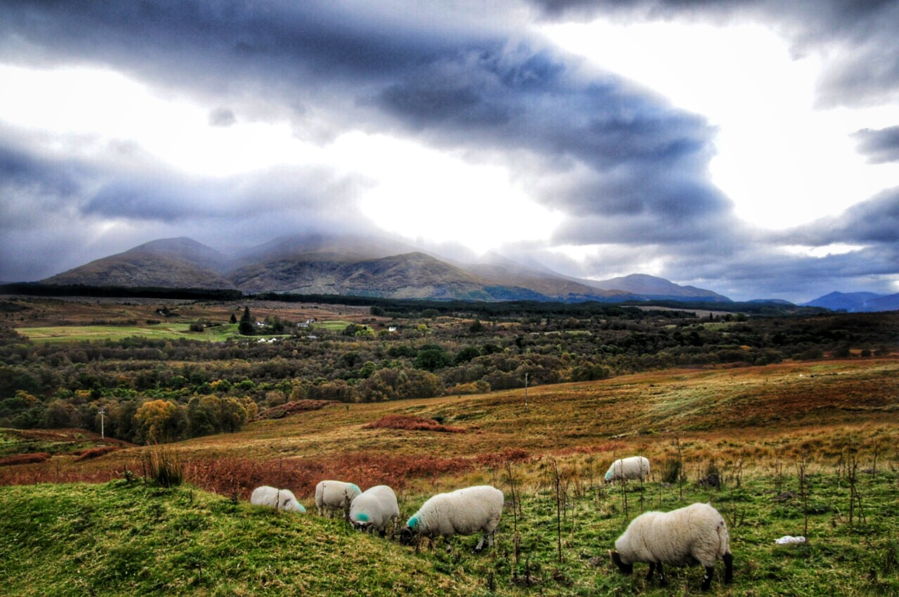 Glencoe-Sheep